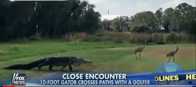 An Alligator in Orlando is Hanging out