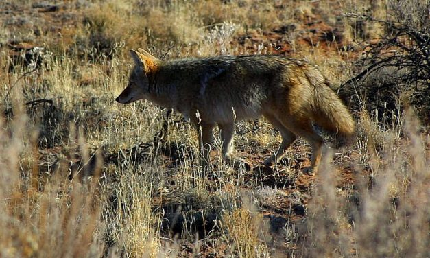 Coyote Controversy At LaGuardia Airport