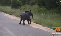 Adorable Baby Elephant Chasing Birds
