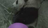National Zoo's Surviving Panda Cub Is A Boy And He Is Growing Up Quickly