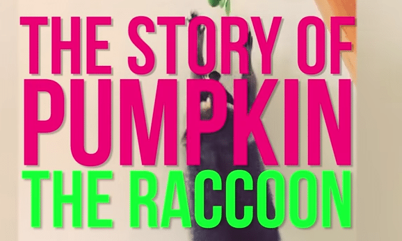 The Story of Pumpkin The Raccoon