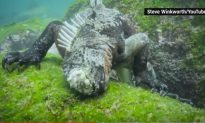 Is That Godzilla? Or Just Your Average Huge Marine Iguana