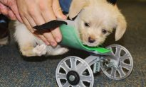 Two-Legged Puppy Gets New 3-D Printed Wheels
