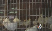 Couple Arrested in Illegal Slaughterhouse Case in Miami-Dade