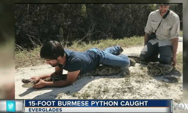 15 Foot Python Caught In The Everglades