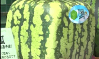 Square Watermelon in Japan is very Expensive