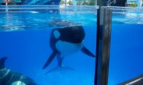 Killer Whale Habitat Expansion At Seaworld In San Diego, CA Has Been Approved