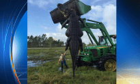 Giant Alligator Caught And Killed In Florida