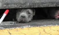 Officer Finds Pit Bulls Huddled In Sewer Drain