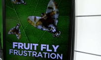 Fruit Fly Devastates South Florida Farms
