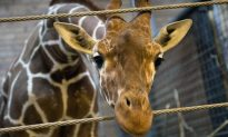 Danish Zoo Dismbembers Giraffe and Feeds It To Lions In Front of Zoo Audience