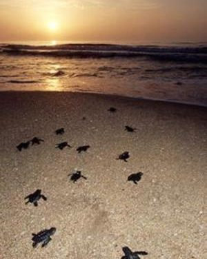 Sea Turtle Nesting Season Begins March 1st