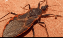 Kissing Bugs That Could Kill You